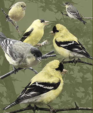 Congregation of Finches