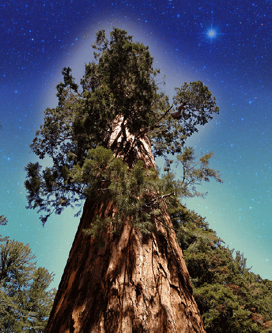 Sequoia Dreamtime
